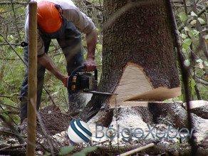 45 yaşlı kişi kəsdiyi ağacın altında qalıb-VİDEO